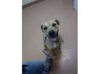 Adopt Bella (stray 3-day hold) a Tan/Yellow/Fawn Labrador Retriever / Mixed dog
