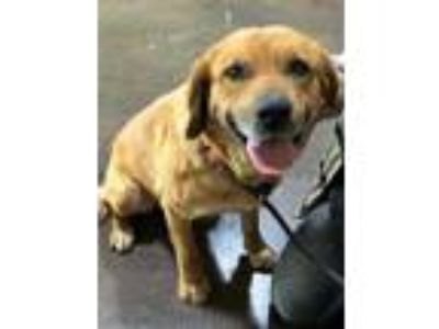 Adopt Sandy a Red/Golden/Orange/Chestnut Labrador Retriever / Mixed dog in South