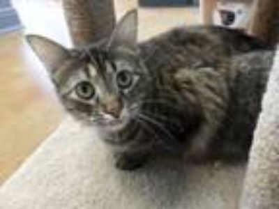 Adopt Olivia a Brown Tabby Domestic Mediumhair (medium coat) cat in Lake