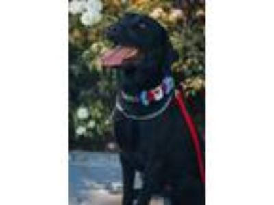 Adopt Quilaby a Black Labrador Retriever / Mixed dog in Fullerton, CA (23769740)
