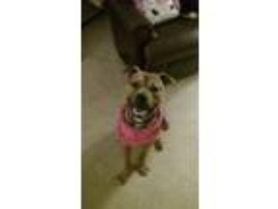 Adopt Preston a Tan/Yellow/Fawn American Pit Bull Terrier dog in Pasadena