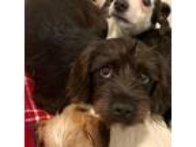 Adopt 19-148 Prince a Dachshund / Terrier (Unknown Type, Small) / Mixed dog in