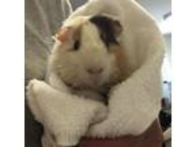 Adopt Drew a Guinea Pig small animal in South Haven, MI (25842656)