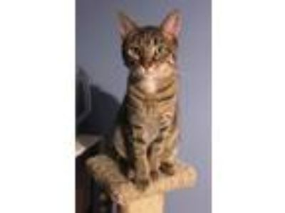 Adopt Lucky a Tan or Fawn Tabby Domestic Shorthair (short coat) cat in