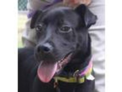 Adopt Jedi a Black Labrador Retriever / Mixed dog in Columbia, SC (25592214)