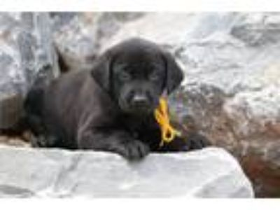 Black Male Lab with great Champion Lines