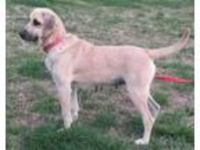 Adopt Bonnie - Colcord, OK a Black Mouth Cur