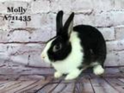 Adopt *MOLLY a Black Other/Unknown / Mixed rabbit in Camarillo, CA (25598581)