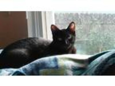 Adopt Panera a Black (Mostly) Domestic Shorthair (short coat) cat in Columbus