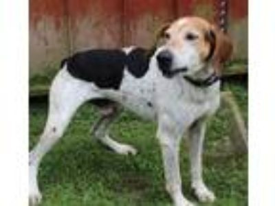 Adopt Otis a Hound (Unknown Type) / Mixed dog in Salisbury, MD (23275823)