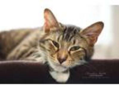 Adopt Chelsea a Domestic Shorthair / Mixed (short coat) cat in Hoover