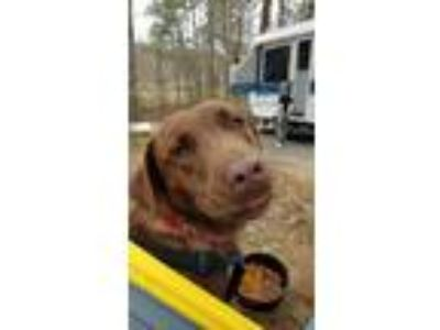 Adopt Reese a Brown/Chocolate Labrador Retriever / Mixed dog in Helena