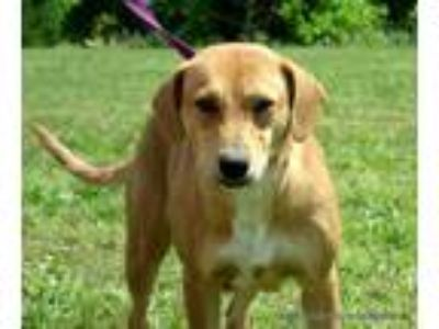 Adopt JEWELS~2 a Brown/Chocolate - with White Beagle / Labrador Retriever /