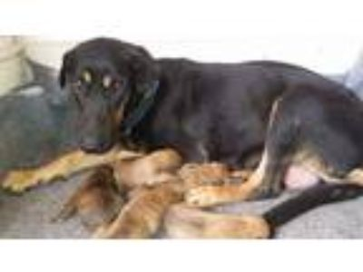 Adopt Masie a Black - with Brown, Red, Golden, Orange or Chestnut Labrador