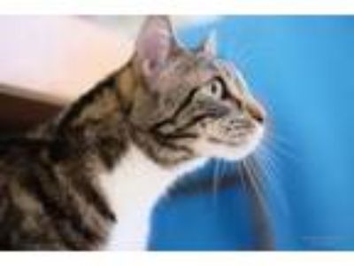 Adopt Anabel a Bengal, Tabby