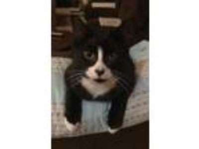 Adopt Roscoe a All Black Domestic Shorthair / Domestic Shorthair / Mixed cat in