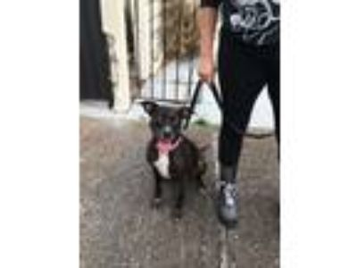 Adopt Chloe a Brindle - with White Catahoula Leopard Dog / Labrador Retriever /