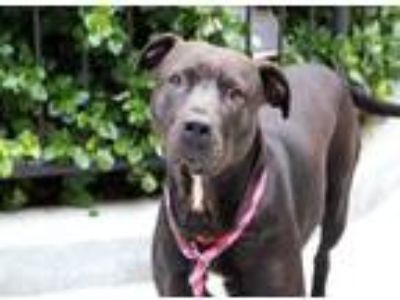 Adopt Easy a Black American Pit Bull Terrier / Mixed dog in Chicago