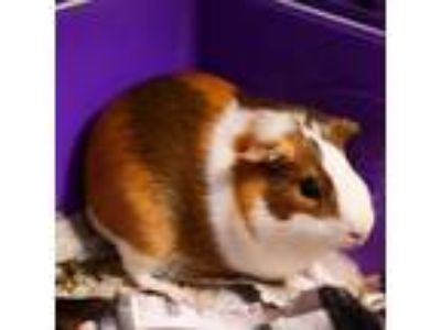 Adopt CINAMMON a Black Guinea Pig / Mixed small animal in Las Vegas