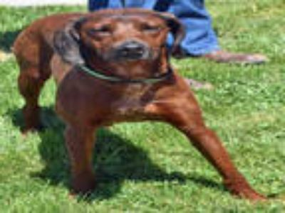 Adopt ABBIE a Red/Golden/Orange/Chestnut Redbone Coonhound / Australian Cattle