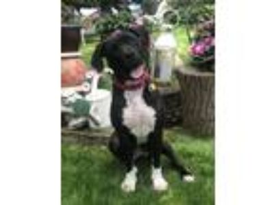 Adopt Darla a Pit Bull Terrier, Mixed Breed