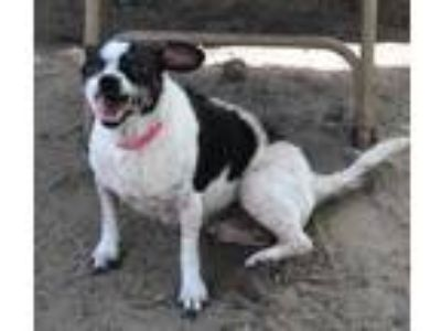 Adopt Olive Oyl a White Rat Terrier / Mixed dog in Inverness, FL (25594183)