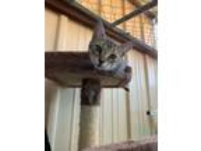 Adopt Olympia a Domestic Short Hair