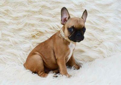 French Bulldog PUPPY FOR SALE ADN-108579 - French bulldog puppy