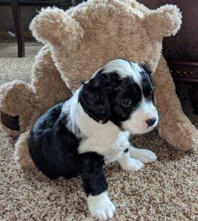Miniature Bernedoodle-Bernese Mountain Dog Mix PUPPY FOR SALE ADN-82370 - Beautiful MINI BERNADOODLE Puppies
