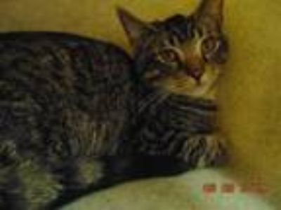 Adopt TROY a Domestic Short Hair