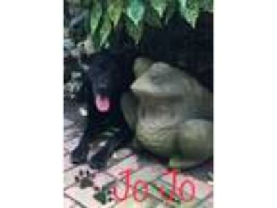 Adopt Shade/JoJo a Flat-Coated Retriever / Newfoundland / Mixed dog in Raleigh