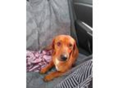 Adopt Chief a Brown/Chocolate Dachshund / Mixed dog in Lavon, TX (25857667)