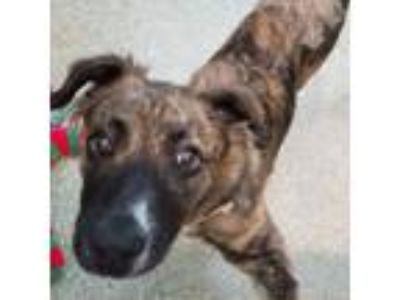 Adopt Foddle a Dutch Shepherd, Mixed Breed