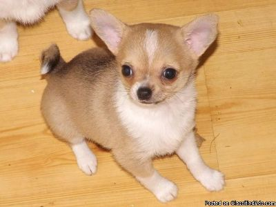Excellent Apple Head Chihuahua Puppies