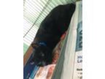Adopt Bubba a All Black Domestic Shorthair / Domestic Shorthair / Mixed cat in