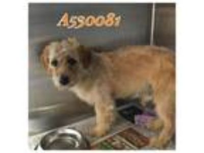 Adopt HOLT a Tan/Yellow/Fawn Terrier (Unknown Type, Medium) / Mixed dog in San