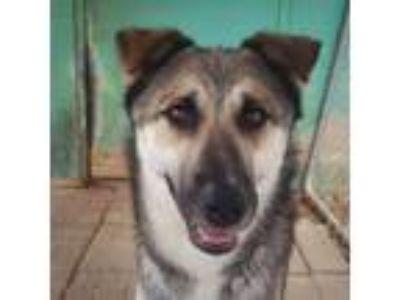 Adopt Dawson a German Shepherd Dog, Siberian Husky