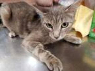 Adopt Zelda a Gray or Blue Domestic Shorthair / Domestic Shorthair / Mixed cat