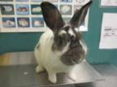 Adopt Bugsy a White English Spot / English Spot / Mixed rabbit in Houston