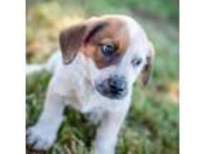 Adopt Desoto a Hound, Cattle Dog
