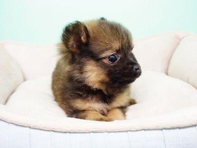 Pomeranian Puppy – Male - Dozer ($1400)*Tcup*