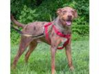 Adopt Benjamin the Catahoulah a Merle Catahoula Leopard Dog / Mixed dog in