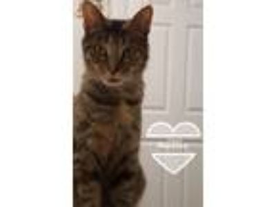 Adopt Marbles a Domestic Short Hair