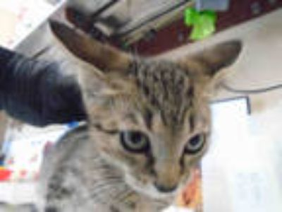 Adopt QUINN a Brown Tabby Domestic Shorthair / Mixed (short coat) cat in Chula