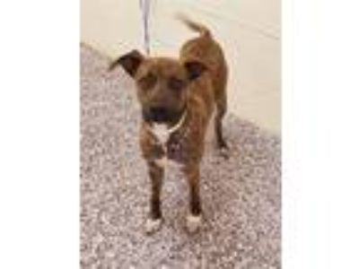 Adopt Lokie a Labrador Retriever / Terrier (Unknown Type