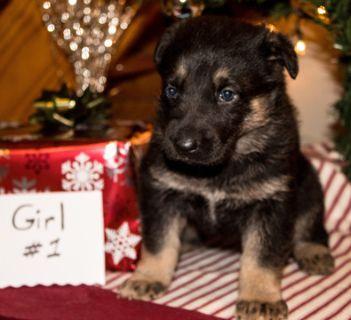 German Shepherd Dog PUPPY FOR SALE ADN-106982 - AKC German Shepherd Puppy