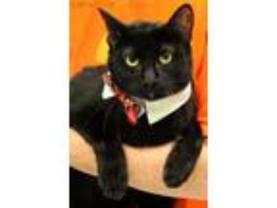 Adopt Dinero a Domestic Shorthair / Mixed cat in Baton Rouge, LA (15125585)