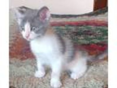 Adopt Cassie-kitty a Dilute Calico, Domestic Short Hair