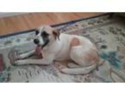 Adopt Sabine a White - with Tan, Yellow or Fawn St. Bernard / Mixed dog in
