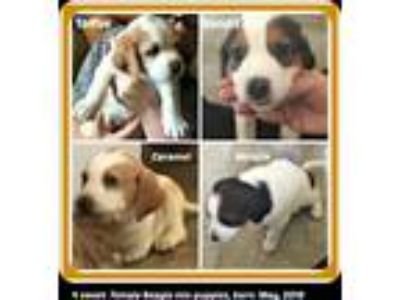 Adopt TOFFEE, CARAMEL, BANDIT & MIRA a Tan/Yellow/Fawn - with White Beagle /